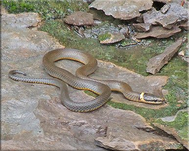 SNAKES OF TENNESSEE - Poisonous snakes in mississippi